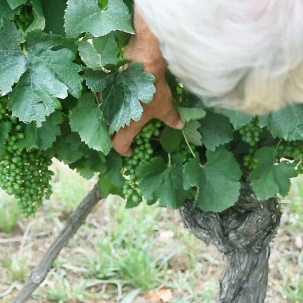 Soin de la vigne par notre vigneron
